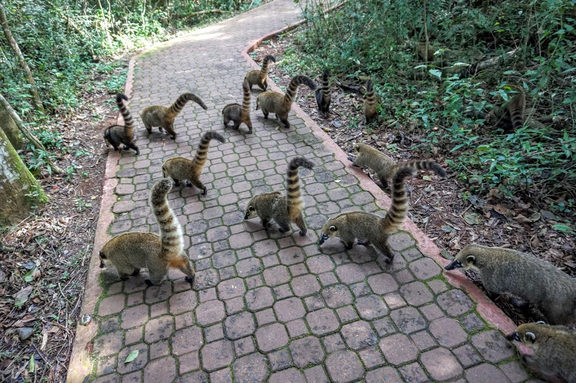 Image result for coatis at iguazu falls